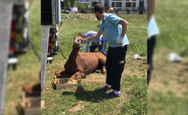Göktürk'te ölüme terk edilen at kurtarıldı!